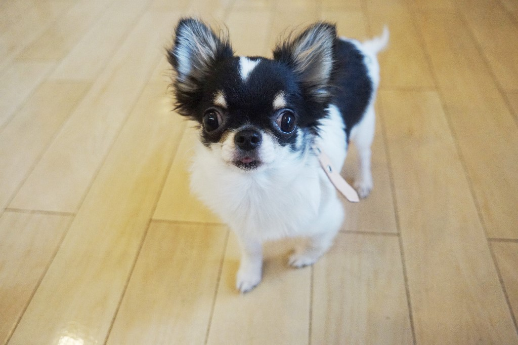 犬の保育園 仙川 調布 駅 小型犬のトレーニング 小型犬を飼うには 室内で犬を飼う