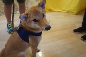 vowbee 犬の保育園 柴犬 スワレ オスワリ
