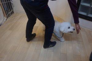 犬の保育園 仙川 ビションフリーゼ ハンドターゲット
