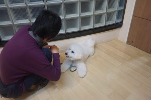 犬の保育園 ビションフリーゼ フセ