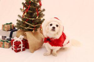 クリスマス MIX ペキニーズ ダックス