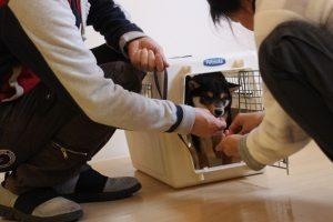 柴犬 ハウストレーニング