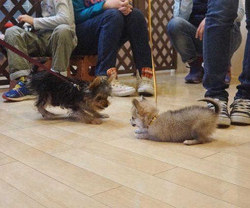 パピーパーティー 犬慣れ 子犬 遊び