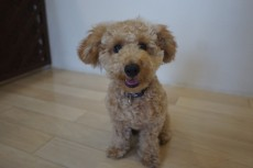 犬の保育園 トイプードル