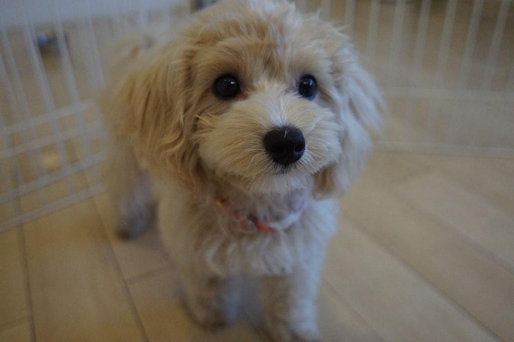 犬の保育園 東京 調布 仙川 犬の躾 犬を飼うには 初めての犬